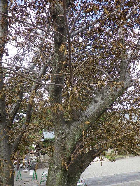 09) 塩分を含んだ風雨で、境内の桜全ての葉が枯れた。