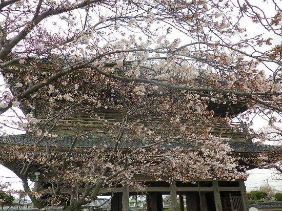 02)  鎌倉「光明寺」の桜 _ 鎌倉市材木座