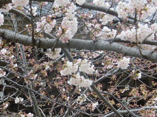 03)  鎌倉「光明寺」の桜 _ 鎌倉市材木座