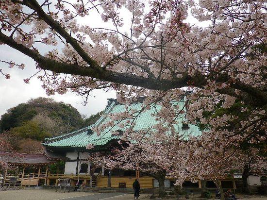 04)  鎌倉「光明寺」の桜 _ 鎌倉市材木座