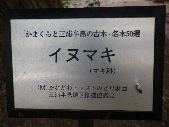 4-18) 無意味な? ' 二階 ' で撮った一枚だけの写真。 「阿弥陀堂」前の樹齢数百年古木「イヌマキ」と「ビャクシン」が立っている。