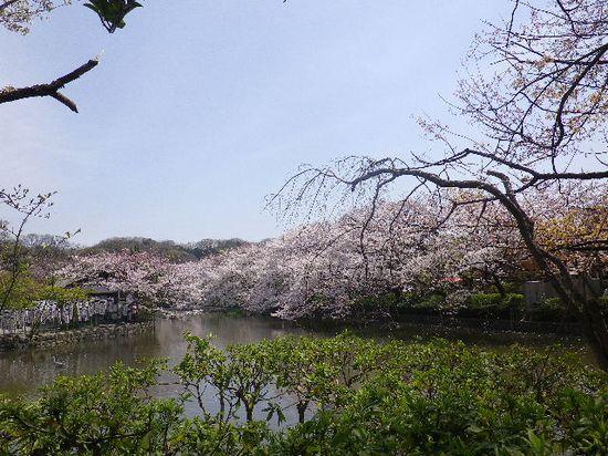 02)源平池 の ' 源氏池 ' 周囲の桜。