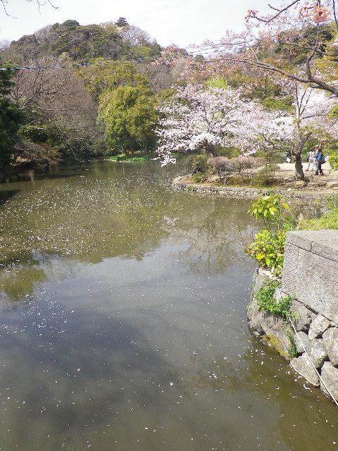 08)  源平池 の ' 平家池 ' の桜。