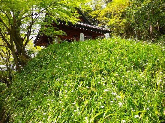 13) 鐘楼下のシャガ  _ 日蓮宗「長興山 妙本寺」 _ 鎌倉市大町