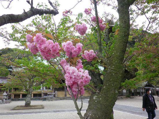 02) 一本だけの八重桜が咲いた