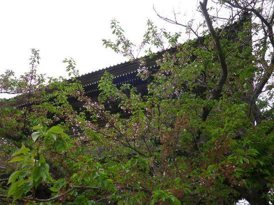 05) 葉桜になったソメイヨシノ