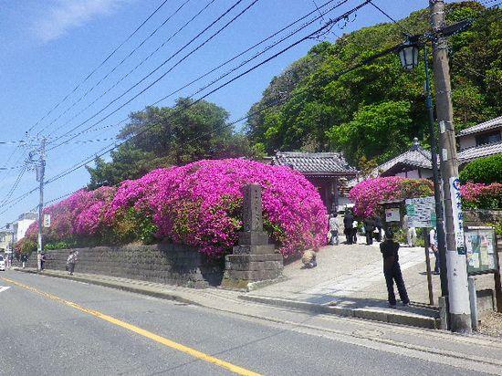 01) 12.05.13鎌倉「安養院」、ツツジ満開の頃。