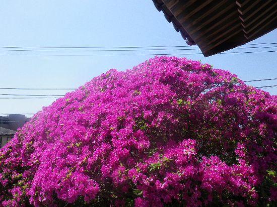 05) 12.05.13鎌倉「安養院」、ツツジ満開の頃。