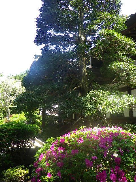 05) ' 本堂 '  前の植栽、ツツジ。