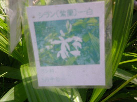 32-1) 「紫蘭(シラン)」