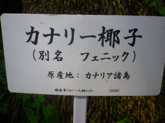 4-02)-1 ' カナリー椰子 '。