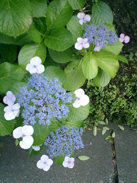 01)或る民家の塀沿いに咲くガクアジサイ。鎌倉市材木座、「光明寺」周辺。17:00pm頃。