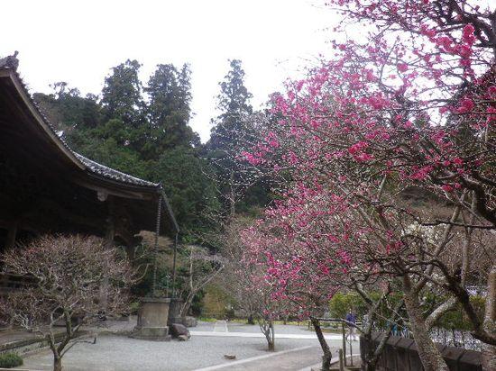 03) 鎌倉「妙本寺」祖師堂周辺の梅