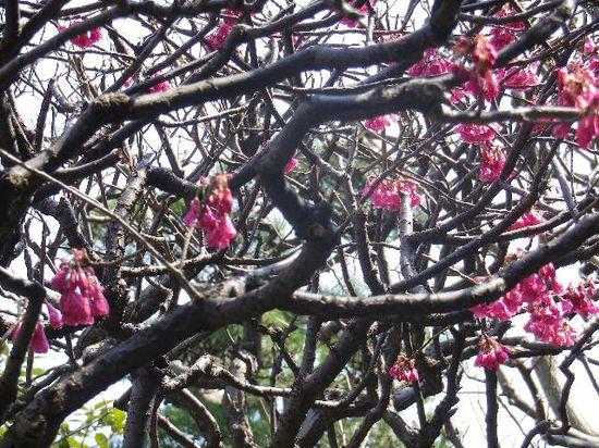 06-2) 緋寒桜