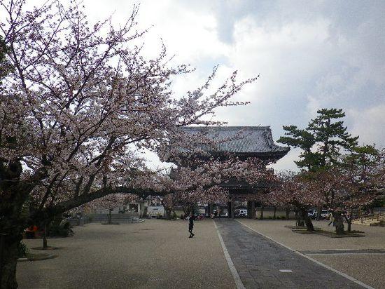 06)  鎌倉「光明寺」の桜 _ 鎌倉市材木座