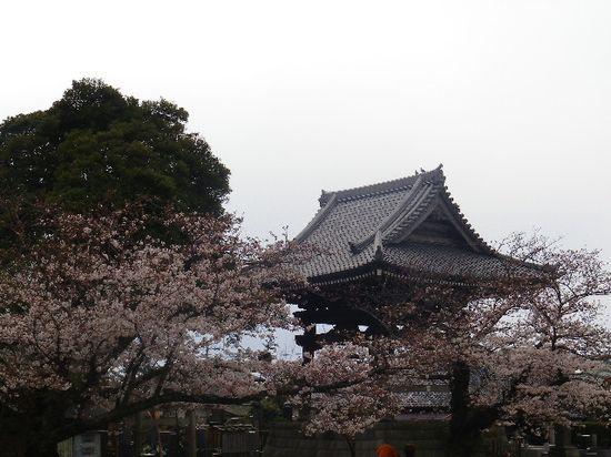 09)  鎌倉「光明寺」の桜 _ 鎌倉市材木座
