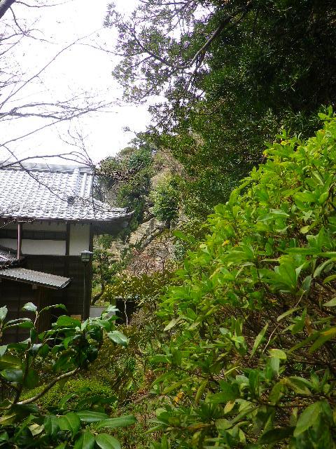 4-19) 非公開「客殿」裏の庭園崖上から下方向へ成長した ' イヌマキ ' を撮ったつもり。 ' 二階 ' → 途中の階段から撮った、この写真。 → ' 一階 ' _ 10:30am頃