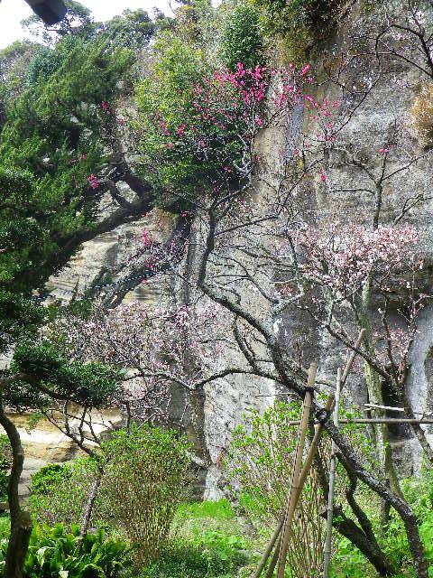 4-23) 「客殿」の塀越しから、梅を撮ったつもり。_ 10:31am頃