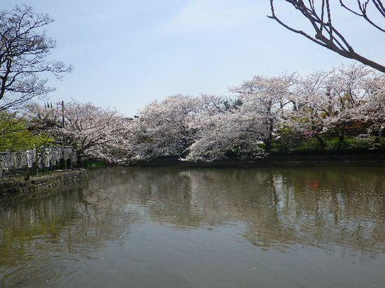03)  源平池 の ' 源氏池 ' 周囲の桜。