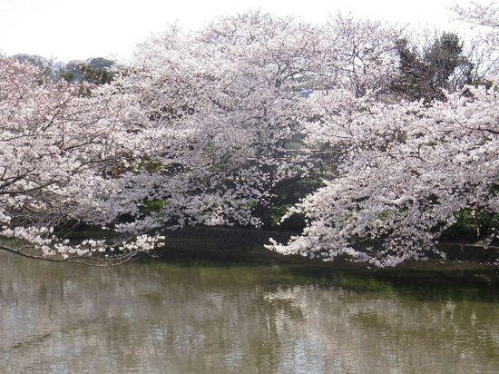 04)  源平池 の ' 源氏池 ' 周囲の桜。