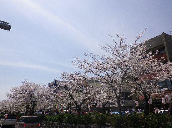 10) 若宮大路の道路から撮った、段葛の桜。