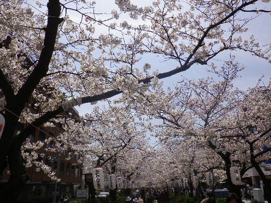 12) 段葛へ入って、二ノ鳥居方向の桜。