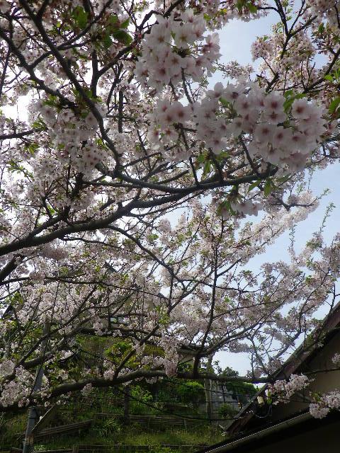 09) 散り始めた桜の花