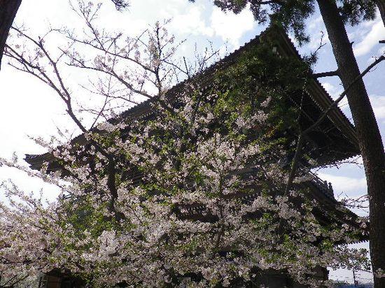 01) 写真が趣味ではない私にとっては あざとく こっ恥ずかしい構図なんだけど いちいちモード選択を要し Auto設定ではマトモに写らないカメラなので、桜の白がスッ飛ばぬように黒