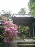 04)鎌倉市大町「安国論寺」山門前のツツジ