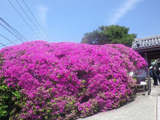03) 12.05.13鎌倉「安養院」、ツツジ満開の頃。