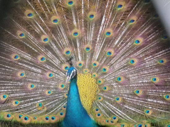 16) 広げた羽を震わせガサガサ音をたてながら、私の方へ歩いて来た。私が離れた後も、羽を広げたまま  ' 鶴の一声! ' みたいに鳴き声を轟かせていた。