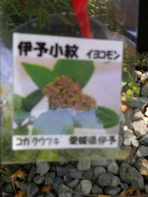 26-1) 「伊予小紋」