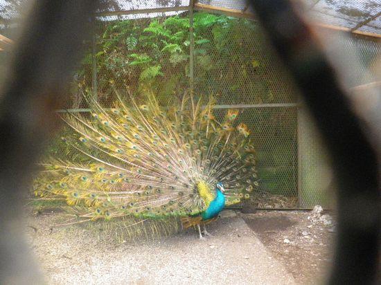 15) お約束!の孔雀 ' クーちゃん ' に挨拶。私が来て直ぐに羽を広げた。