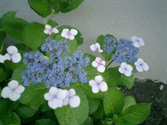 02)或る民家の塀沿いに咲くガクアジサイ。