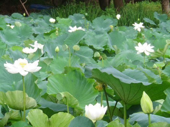05) 通称 ' 平家池 ' 側の蓮。