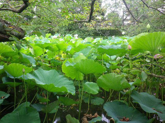 24) 通称 ' 源氏池 '  側の蓮。