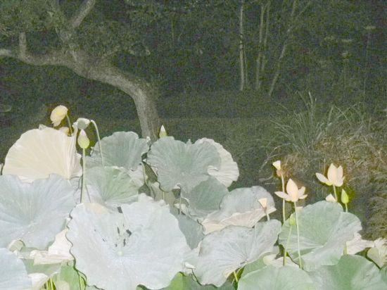 04) 蓮の花