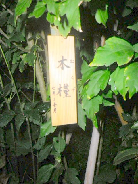 06) 木槿