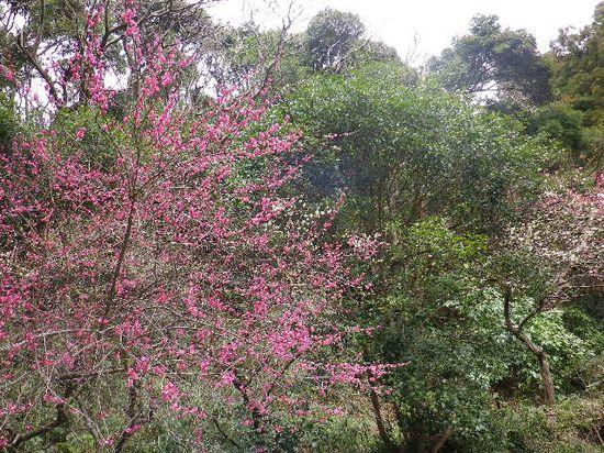 07) 鎌倉「妙本寺」墓地の梅