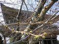 """3/31&4/01 """" 観桜会 """" には開花が間に合わないみたいだ。昨年の台風塩害で酷いダメージを受けたけど、それに打ち勝った姿を見せて欲しい。  _ 鎌倉「光明寺」 鎌倉市材木座"""