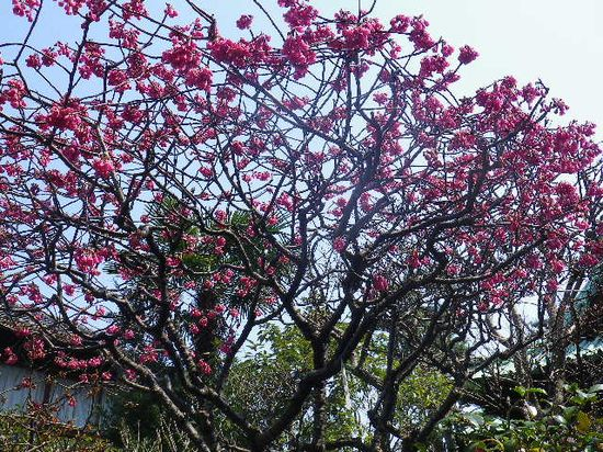 06-1) 緋寒桜