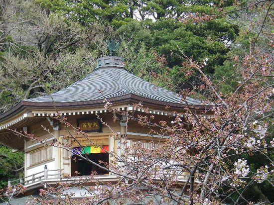08)  鎌倉「光明寺」の桜 _ 鎌倉市材木座