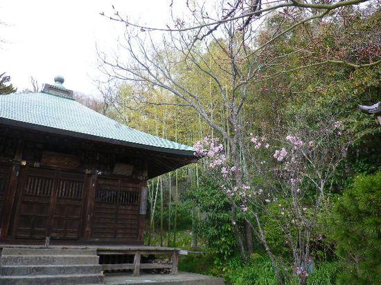 4-03) 若木の桜を撮ったつもり