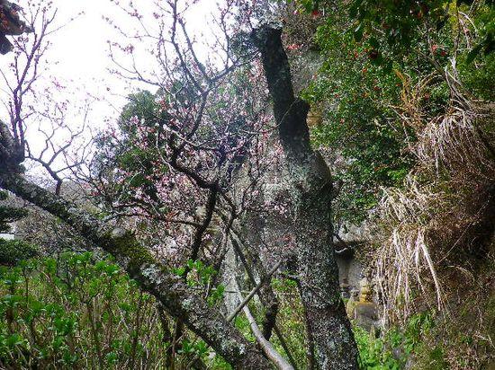 4-21) 「客殿」の塀越しから、梅を撮ったつもり。