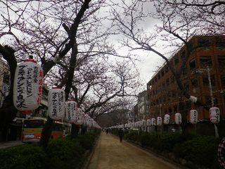 2-03) 「鶴岡八幡宮」参道 ' 段葛 ' 約半分の距離地点  _  横断歩道&信号 が在る付近での、開花前で蕾の桜。 _ 8:57am頃