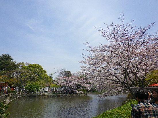 01)  源平池 の ' 源氏池 ' 周囲の桜。 _ 「鶴岡八幡宮」 鎌倉市雪ノ下