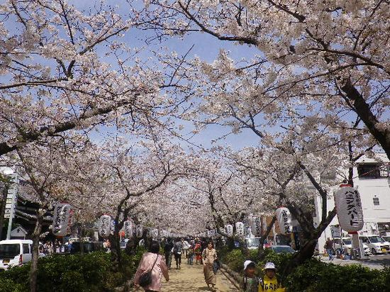 11) 段葛へ入って、三ノ鳥居方向の桜。