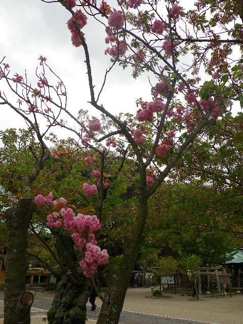 01) 一本だけの八重桜が咲いた _ 「光明寺」 鎌倉市材木座