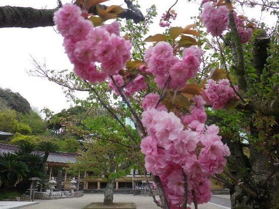 03) 一本だけの八重桜が咲いた