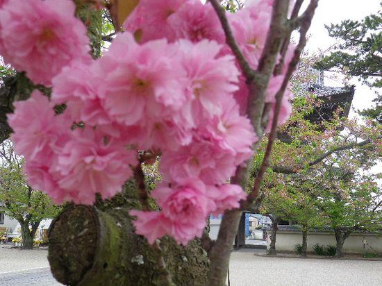 05) 一本だけの八重桜が咲いた